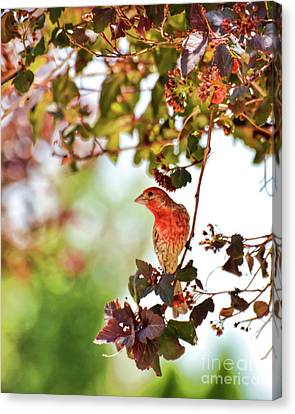Canvas Print featuring the photograph House Finch Hanging Around by Kerri Farley