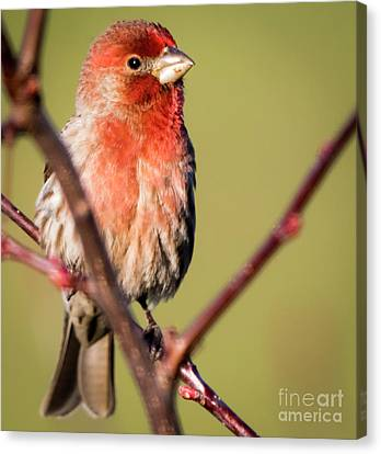 Canvas Print featuring the photograph House Finch In Full Color by Ricky L Jones
