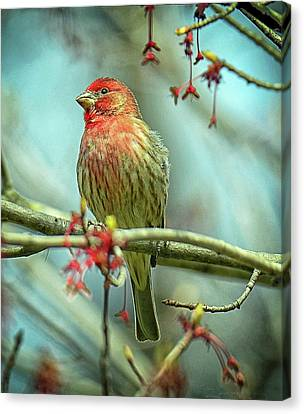 Canvas Print featuring the photograph House Finch In Spring by Rodney Campbell