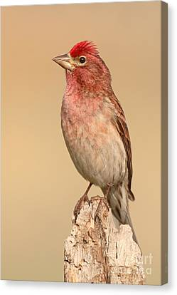 House Finch With Crest Askew Canvas Print by Max Allen