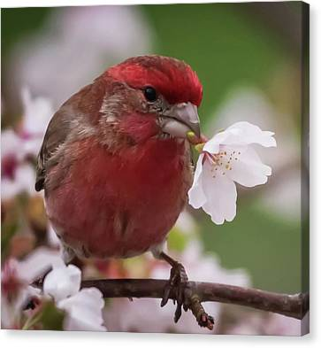 House Finch With Flower Square Canvas Print by Terry DeLuco