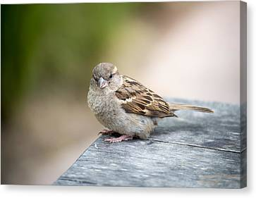Canvas Print featuring the photograph House Sparrow by Scott Lyons