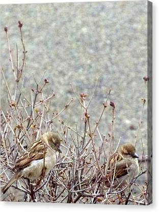 House Sparrows Canvas Print by Will Borden