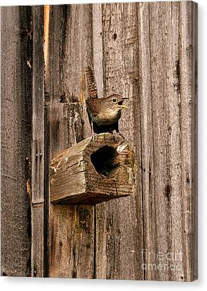 House Wren And House Canvas Print