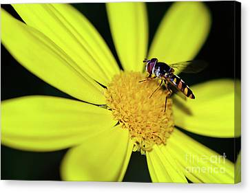 Canvas Print featuring the photograph Hoverfly On Bright Yellow Daisy By Kaye Menner by Kaye Menner