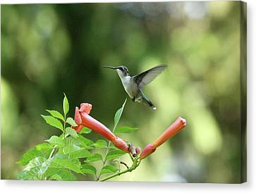 Hovering Hummingbird Canvas Print by Debbie Oppermann