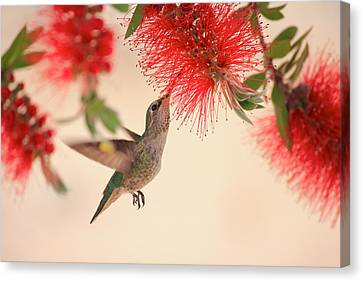 Hovering Hummingbird Canvas Print