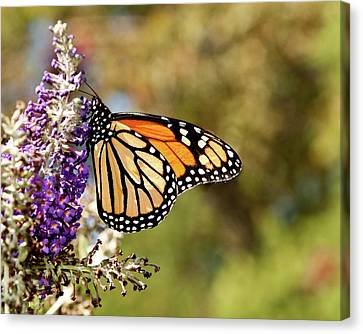 Canvas Print featuring the photograph Hues Of Autumn Monarch by Lara Ellis