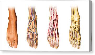 Human Foot Anatomy Showing Skin, Veins Canvas Print by Leonello Calvetti