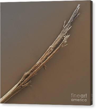 Human Hair Shaft With Split Ends Sem Canvas Print by Power and Syred