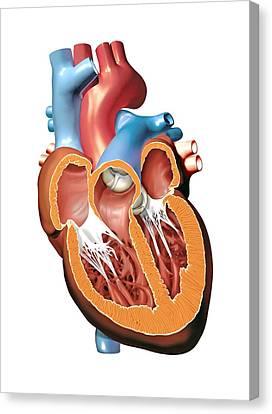 Human Heart Anatomy, Artwork Canvas Print by Jose Antonio PeÑas