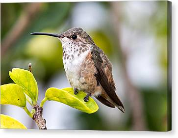 Hummer On A Leaf Canvas Print by Phil Stone