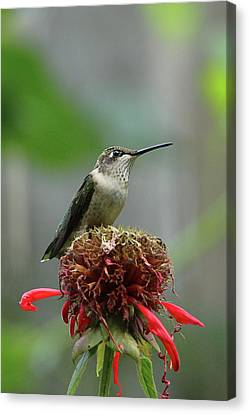 Humming Bird Atop Bee Balm Canvas Print