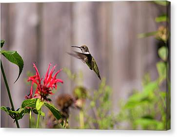 Humming Bird Hovering Canvas Print