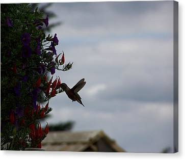 Humming Bird In The Parrots Beak Canvas Print by Laurie Kidd