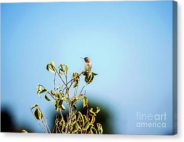 Canvas Print featuring the photograph Humming Bird On A Branch by Micah May