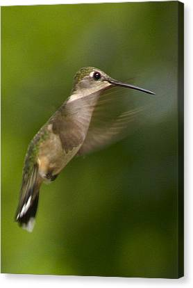 Hummingbird 1 Canvas Print by Fred Baird