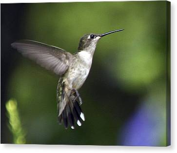 Hummingbird 2 Canvas Print by Fred Baird