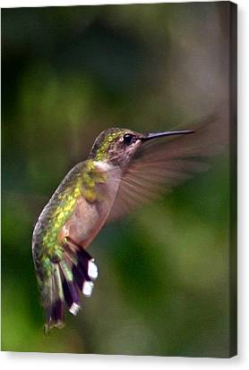 Hummingbird 3 Canvas Print by Fred Baird