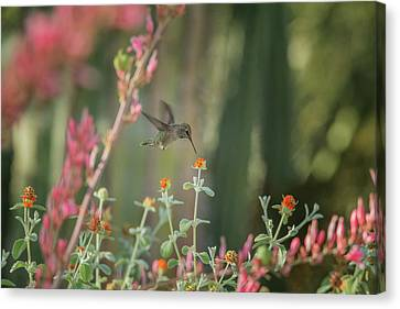 Hummingbird 3000 Canvas Print by Tam Ryan