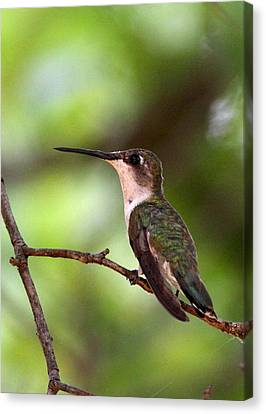 Hummingbird - Afternoon Ruby Canvas Print by Travis Truelove