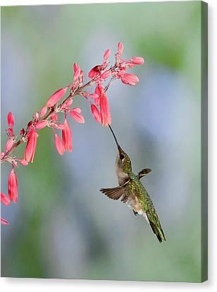 Hummingbird Canvas Print by Alan Toepfer
