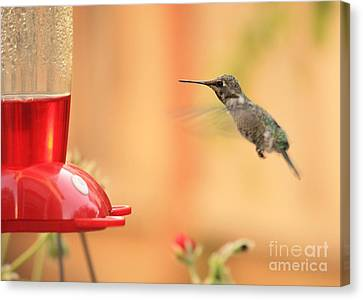 Hummingbird And Feeder Canvas Print by Carol Groenen