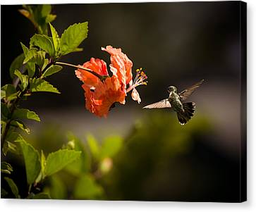 Hibiscus Canvas Print - Hummingbird And Hibiscus by Zina Stromberg