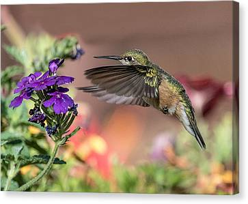 Hummingbird And Purple Flower Canvas Print