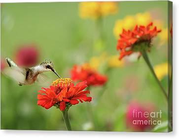 Hummingbird And Zinnias Canvas Print by Darren Fisher