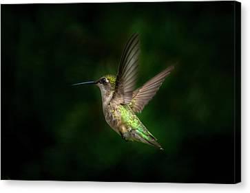 Hummingbird B Canvas Print