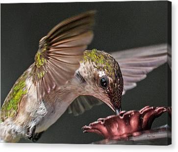 Natural Scenes Canvas Print - Hummingbird. by Betsy Knapp