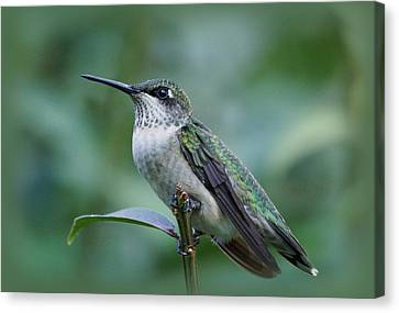 Hummingbird Close-up Canvas Print by Sandy Keeton