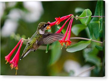 Hummingbird Feeding Canvas Print by Gary Wightman