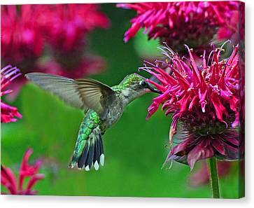 Canvas Print featuring the photograph Hummingbird Gathering Nectar by Rodney Campbell