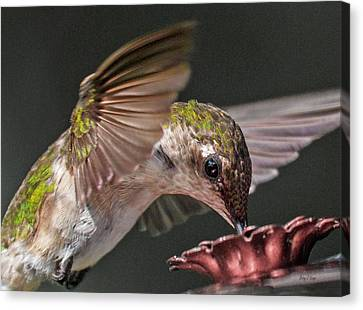 Natural Scenes Canvas Print - Hummingbird Graceful Little Lady by Betsy Knapp