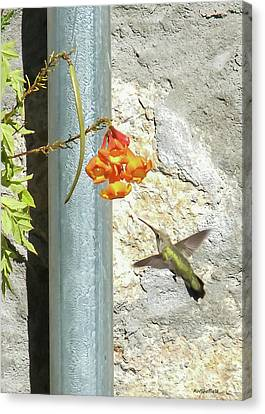 Hummingbird - Greeting Card Canvas Print by Allen Sheffield