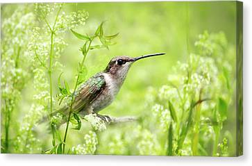 Hummingbird Hiding In Flowers Canvas Print by Christina Rollo