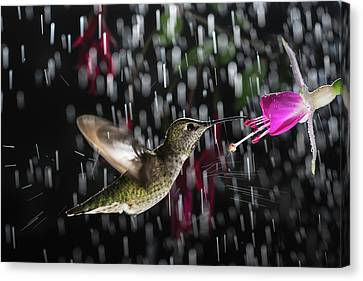 Canvas Print featuring the photograph Hummingbird Hovering In Rain With Splash by William Lee