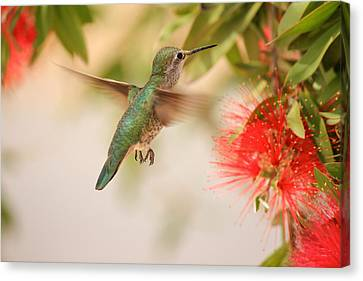 Hummingbird In Paradise Canvas Print by Penny Meyers