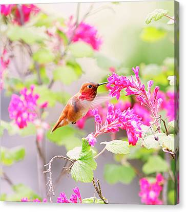 Hummingbird In Spring Canvas Print by Peggy Collins