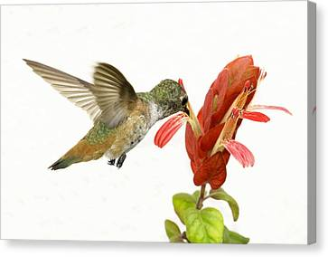 Hummingbird In The Flower Canvas Print