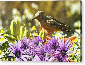Hummingbird In The Spring Rain Canvas Print by Diane Schuster