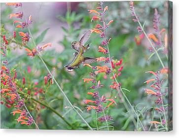 Hummingbird Love And Joy Canvas Print