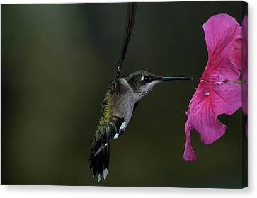 Canvas Print featuring the photograph Hummingbird by Mike Martin