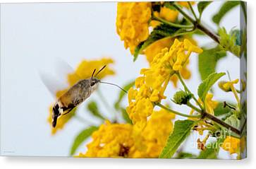 Hummingbird Moth Canvas Print by Jason Christopher