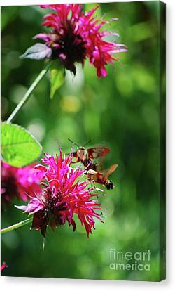 Canvas Print featuring the photograph Hummingbird Moth by Lila Fisher-Wenzel