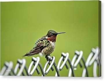 Hummingbird On A Fence Canvas Print by Christina Rollo