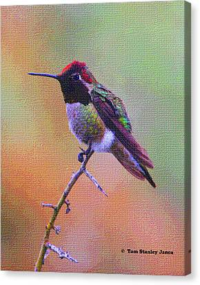 Hummingbird On A Stick Canvas Print by Tom Janca