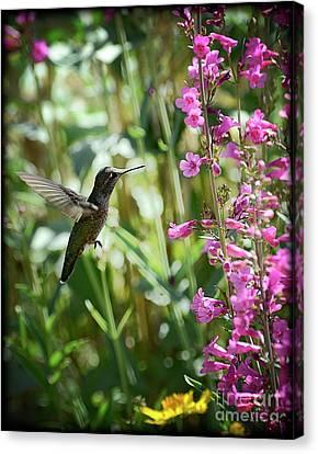 Hummingbird On Perry's Penstemon Canvas Print by Saija  Lehtonen